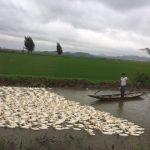 ベトナム、フエ市、農水路とアヒル