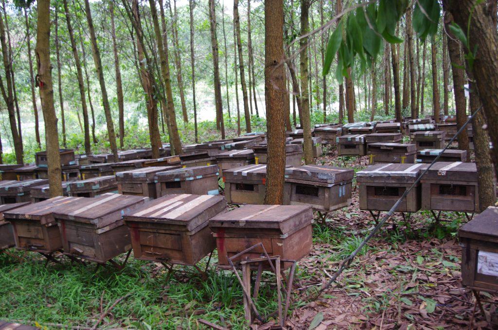アカシア造成林、養蜂、フエ省