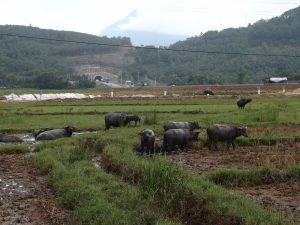 スイギュウの群れ、ベトナム・フエ省