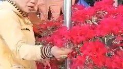 テト前の花市場で花の手入れをする女性、ベトナム中部、フエ市