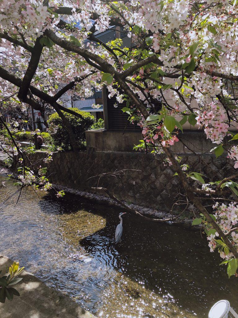 京都木屋町の桜