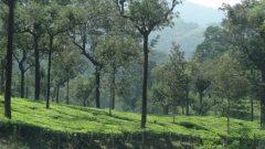 南インドの茶畑と日陰樹