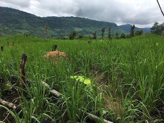 ラオス、焼き畑で栽培される陸稲(オカボ)