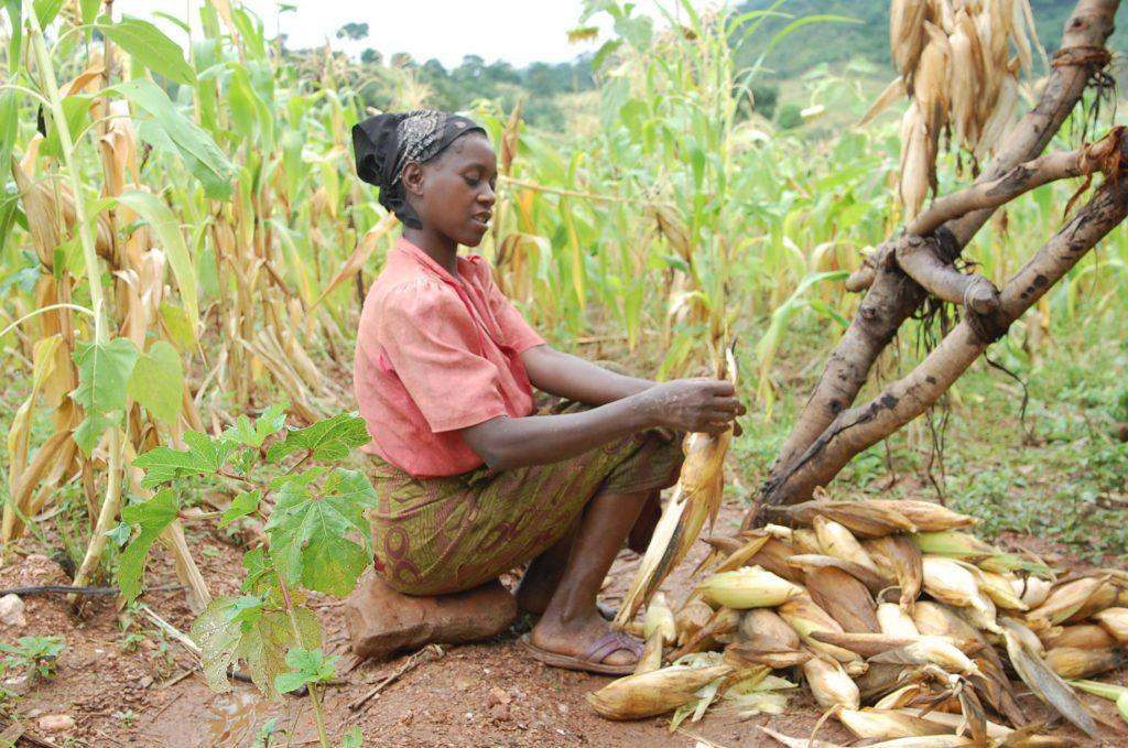メイズ干し(2008年3月ザンビア)