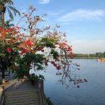 火炎樹、フエ市・ベトナム